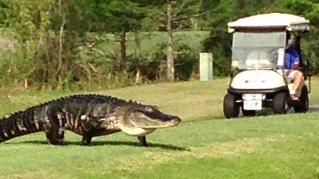Alligator på golfbanen